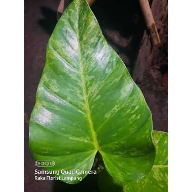 Jual Tanaman Hias Philodendron Pohon Philo Tanaman Indoor Online Januari 2021 Blibli