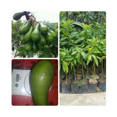 Bibit Tanaman Murah Alpukat Long Green [Pulau Jawa]