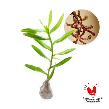 Scorpion Orchid