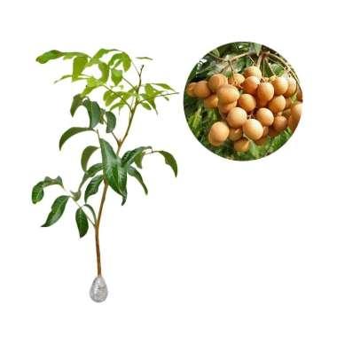 harga Kebun Bibit Kelengkeng Golden Bibit Tanaman Buah Blibli.com