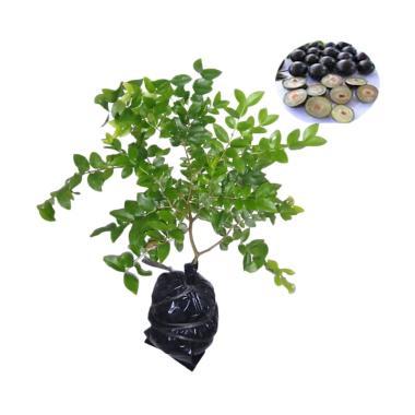 Efendi Nursery Anggur Brazil Bibit Tanaman