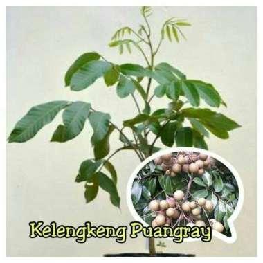 harga Bibit Tanaman Buah Kelengkeng Puangray 40cm Blibli.com