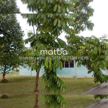 harga Bibit Pohon Matoa - Buah Mirip Kelengkeng Aroma Durian - Khas Papua Blibli.com