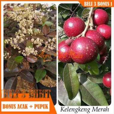 harga Bibit Tanaman buah Kelengkeng Merah-ruby longan Blibli.com
