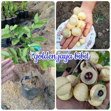 harga Golden jaya bibit tanaman kelengkeng aroma durian Blibli.com