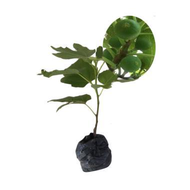 BIBIT TANAMAN Tin Gy Green Yordania