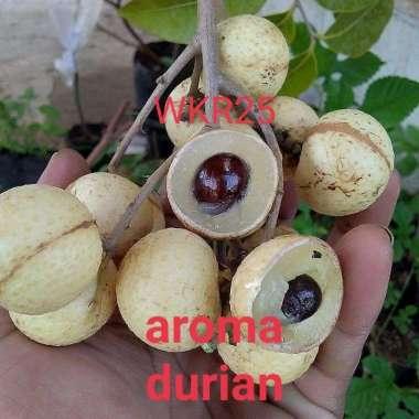 harga Bibit kelengkeng aroma durian Okulasi tanaman kelengkeng beraroma durian Blibli.com