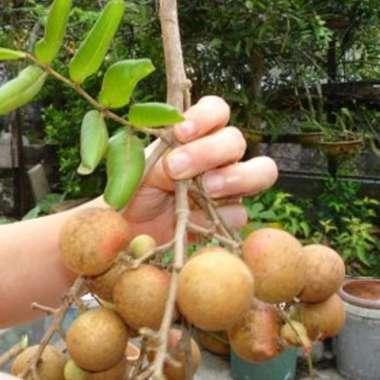 harga Bibit Kelengkeng Pingpong 40cm Blibli.com