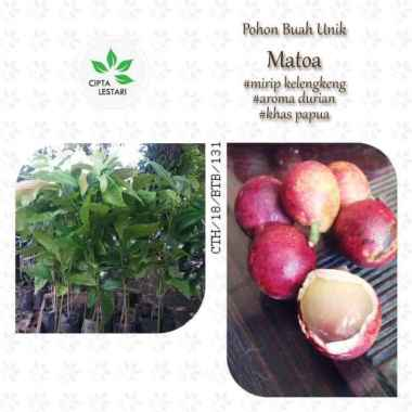 harga A+ Bibit Pohon Matoa - Buah Mirip Kelengkeng Aroma Durian - Khas Papua Blibli.com