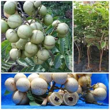harga Bibit Buah Kelengkeng Aroma Durian Bibit Tanaman Jawa Timur Blibli.com