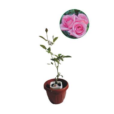 Bibit Tanaman Murah  Mawar Pink (Pulau Jawa)