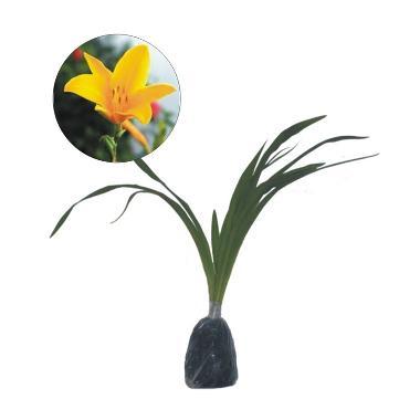 Bibit Tanaman Murah Bunga Lily Kuning (Pulau Jawa)