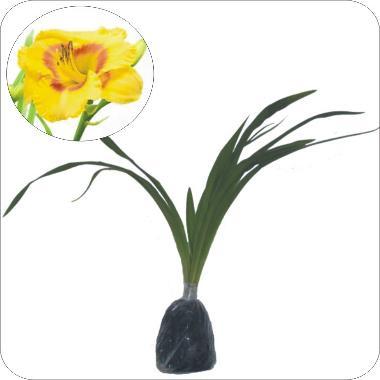 Bibit Tanaman Murah Bunga Lily Semb ...