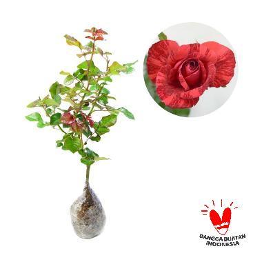 Mawar Candy Merah