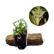 Kebun Bibit Seedling Dendrobium Pachyphyllum Tanaman